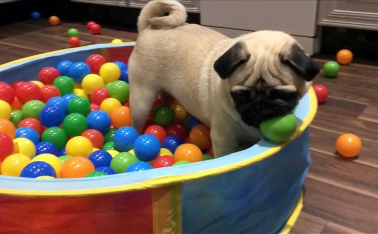 Cão brinca em uma piscina de bolinhas (Reprodução)