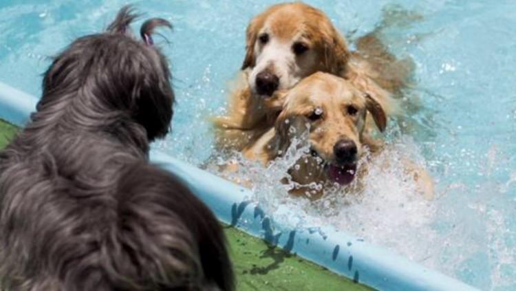 Cães brincam em piscina
