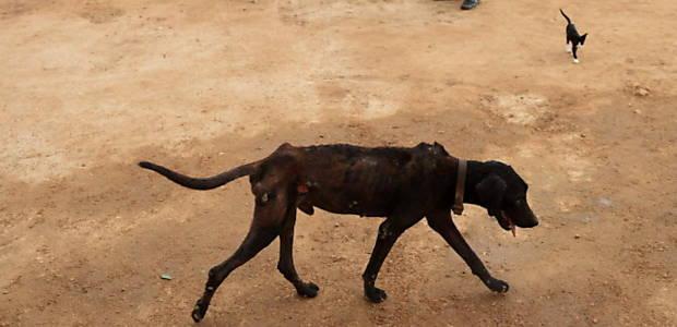 Cão em abrigo no Paquistão; autoridades envenenam mais de mil animais de rua (Rizwan Tabassum-17.ago.16/AFP)