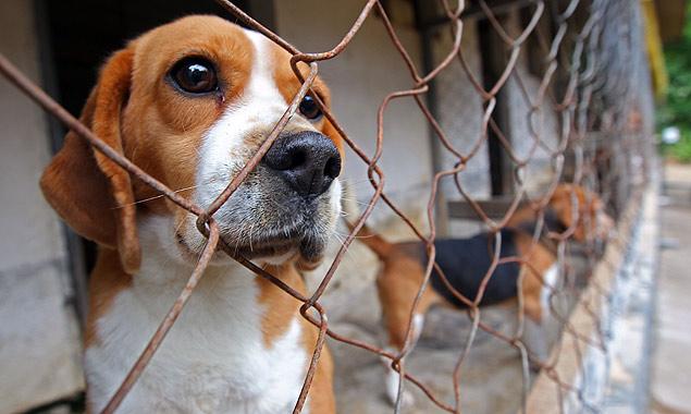 Alckmin veta projeto que previa fim do uso de animais vivos em escolas e universidades; na foto, cães da raça beagle