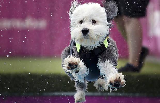 Cachorro em atividade do Kennel Club; veja fotos da semana