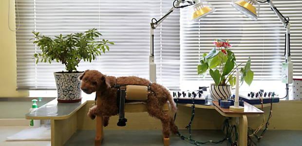 Cão recebe tratamento com acupuntura em Xangai