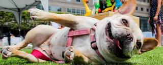 Cachorro brinca; 61% considera pet membro da família