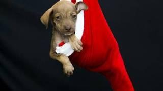 Ensaio natalino com cães de abrigo incentiva adoções