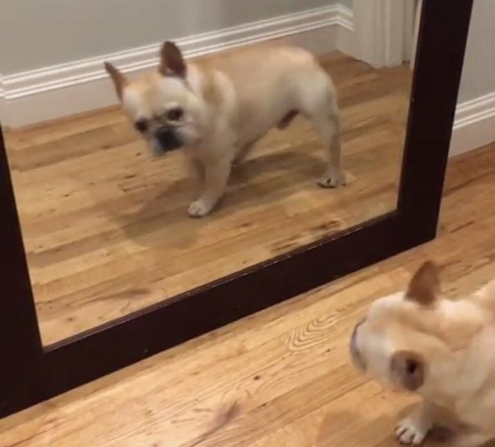 Cãozinho leva susto ao se ver no espelho