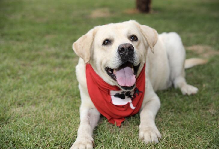 Cão após doação de sangue