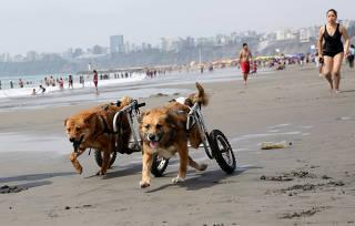 Cães paraplégicos vão à praia em Lima