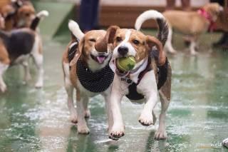 Beagles participam de encontro em Belo Horizonte