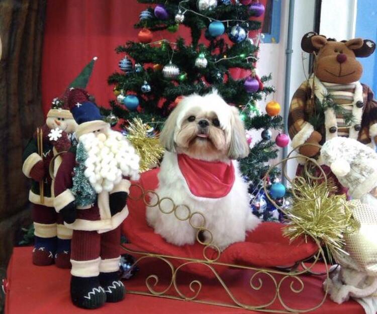 Cães Entram No Clima De Natal Veja Fotos De Leitores Bom