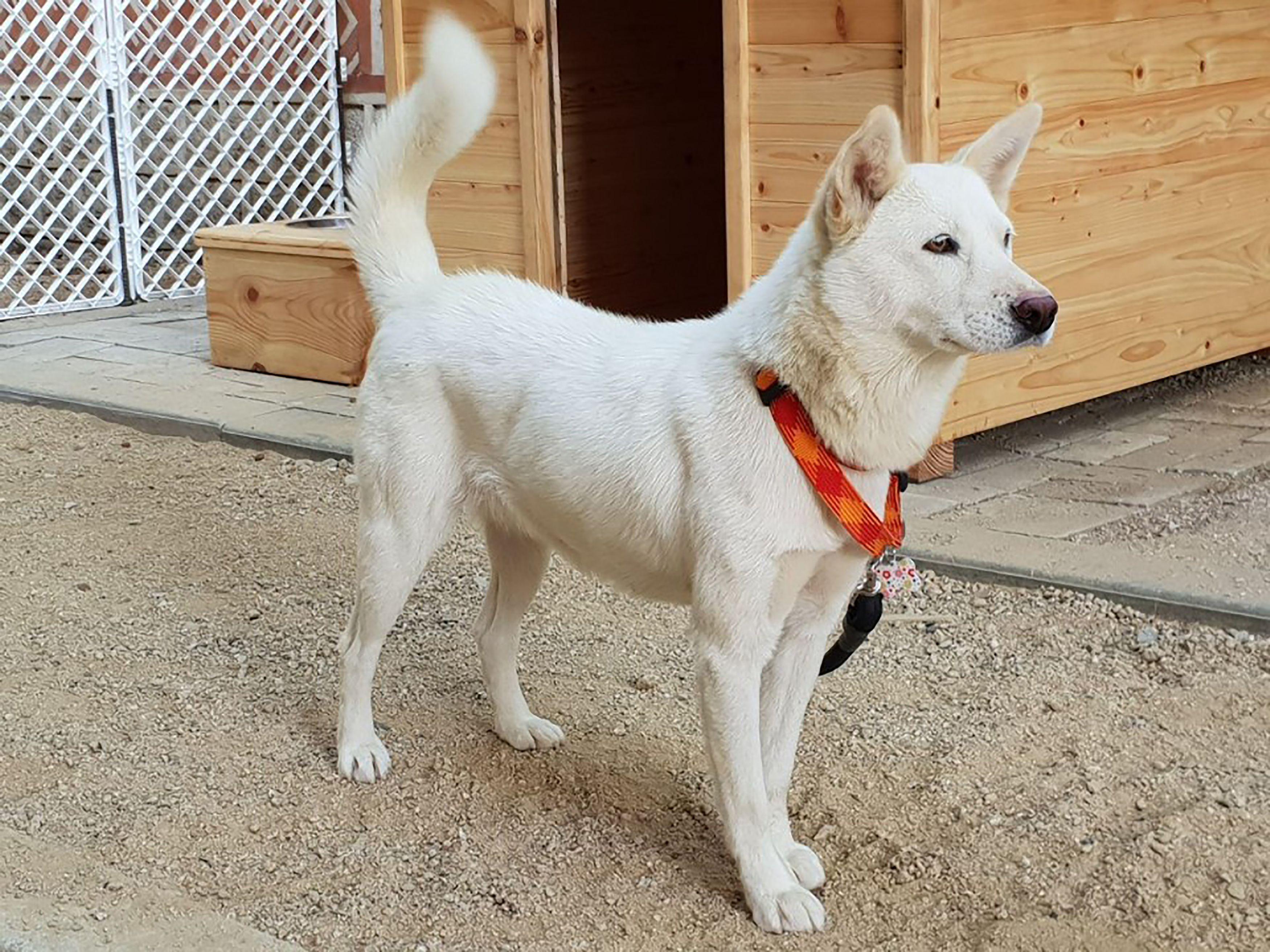Cão da raça Pungsan (The Blue House / AFP)