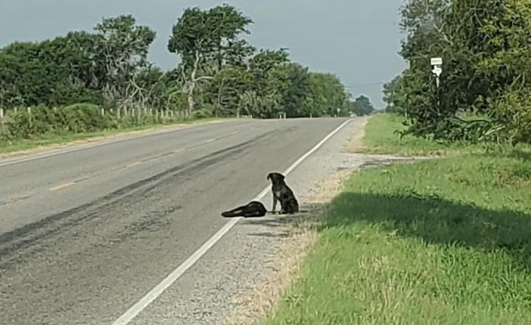Cachorro se recusa a deixar corpo de amiga morta em estrada