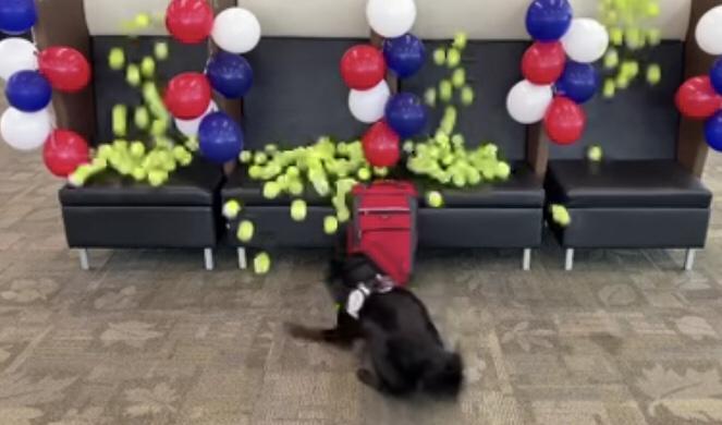 Cachorro ganha chuva de bolinhas ao farejar última mala antes de se aposentar